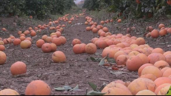 Un acuerdo entre la UE y Sudáfrica hace desplomarse el precio en origen de las naranjas