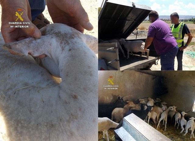 La Guardia Civil esclarece el robo de una treintena de corderos en fincas ganaderas de Lorca