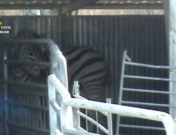 Seprona desarticula una red que exportaba cebras enfermas a Dubai con documentación falsificada
