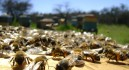 Los daños por fumigación y los robos hunden a la apicultura regional