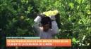 Ailimpo estima un aumento del 22% en la cosecha de limón
